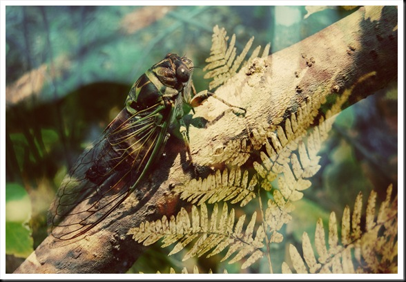 CICADA Fern