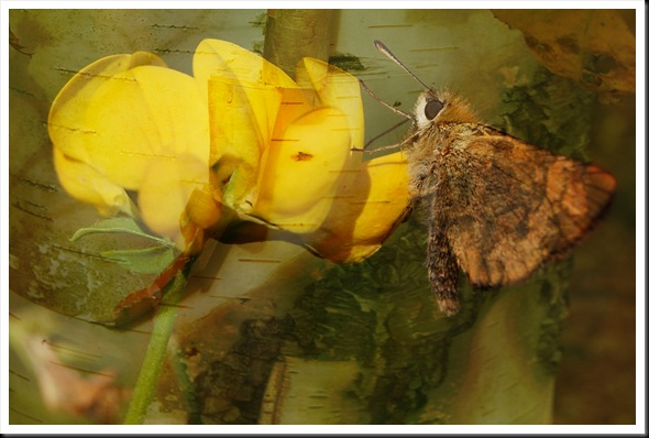 BUTTERFLIES Skipper and Birch