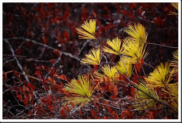 pine fans