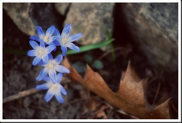 blue petals