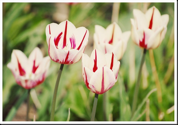striped tulips