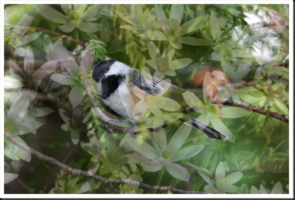 CHICKADEE and Star Flowers