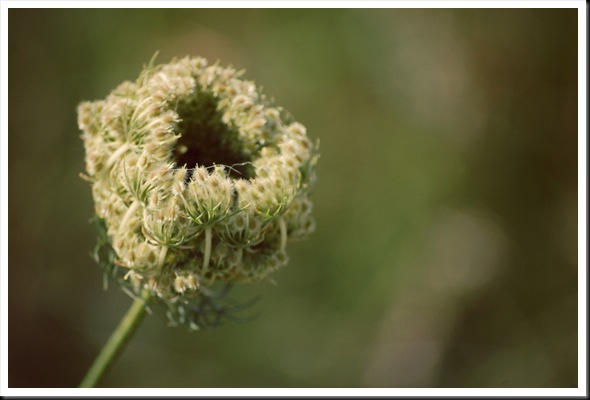queen anne&#39;s lace opening