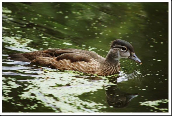 Wood Duck Juv