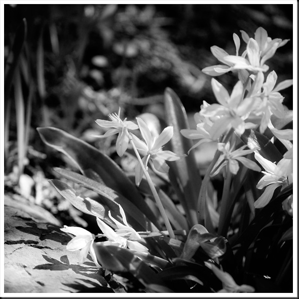 BW shadowwhite spring flowers