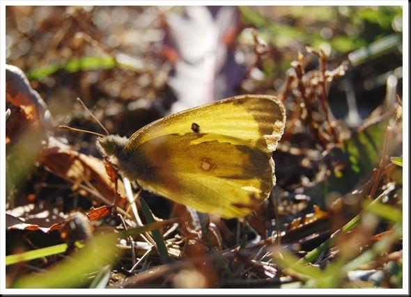 November Butterfly