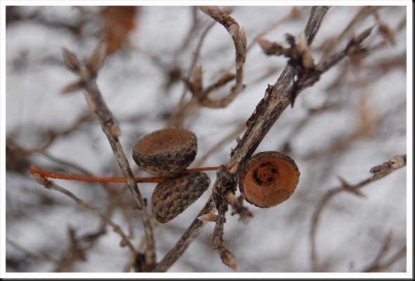 acorn caps