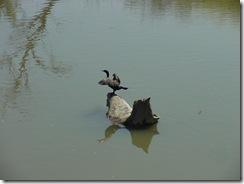 cormorantJPG