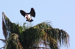 Beady-eyed stork getting ready to fly