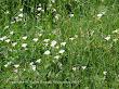 Powój polny (Convolvulus arvensis)