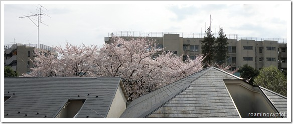 cherry blossom view