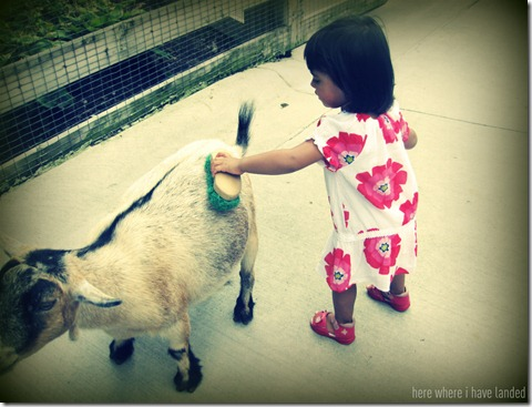 Brushing Zoo Goat