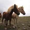 Faroe pony