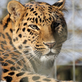Leopard by Ralph Harvey - Animals Lions, Tigers & Big Cats ( wildlife, ralph harvey, leopard, marwell zoo, animal )