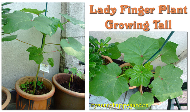 I Have Also Grown Lady Finger Plants From Seeds But They Don T Seem To Be Doing Well Even Diffe Kind Of Leaves The Young Seedling That