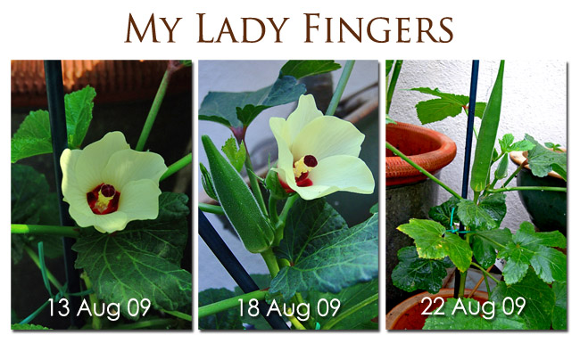 My First Lady Finger