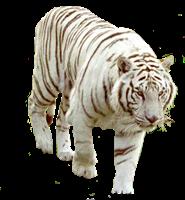 tigres misimagenesdivertidas.blogspot (3)