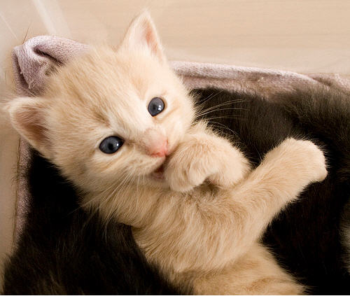 cute adorable ginger kitten biting paw