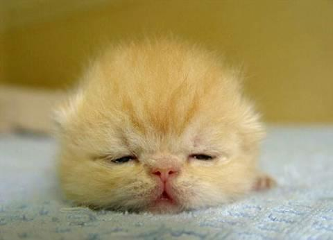 cute baby yellow kitten cat pic