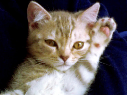 cute orange kitten raises hand cat pic