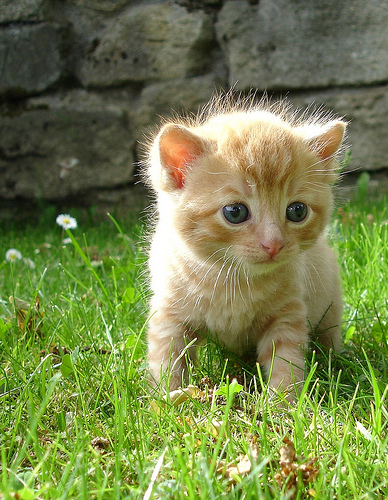cute ginger tabby kitten cat pic