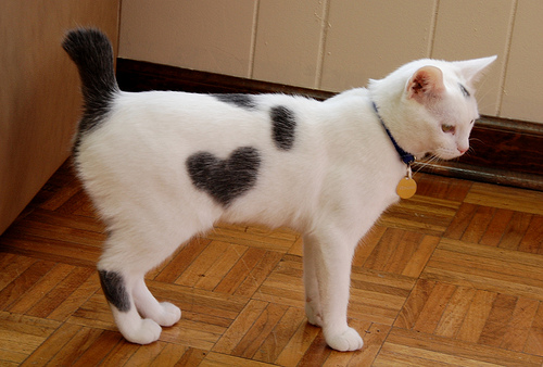 cute valentine kitten heart shape cat pic