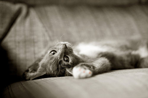 cute kitten lying down cat pic