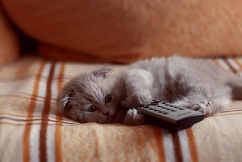 cute gray kitten remote control pic