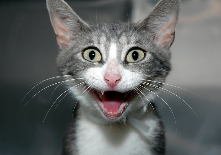 cute smiley laughing kitten funny cat pic