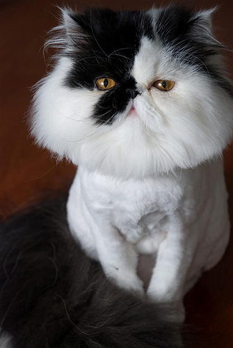cute Persian kitten muffin cat pic