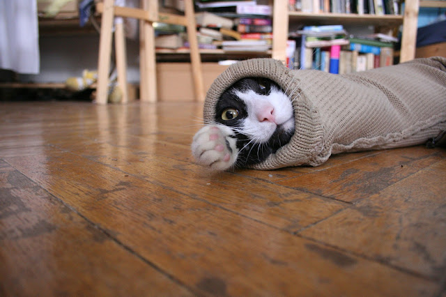 cute tuxedo kitten hiding in sleeve