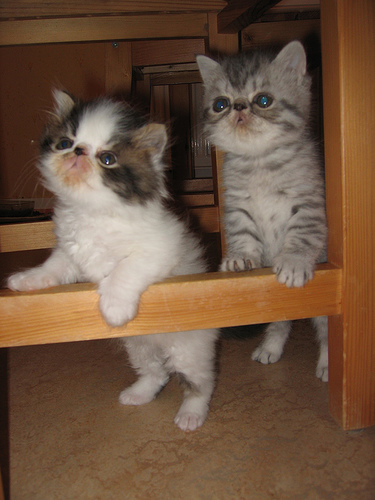 cute persian exotic kittens playing
