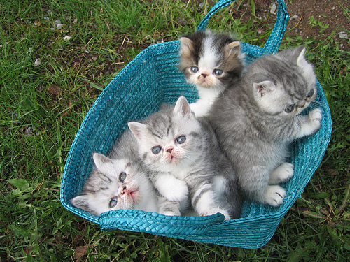 cute persian exotic kittens in basket