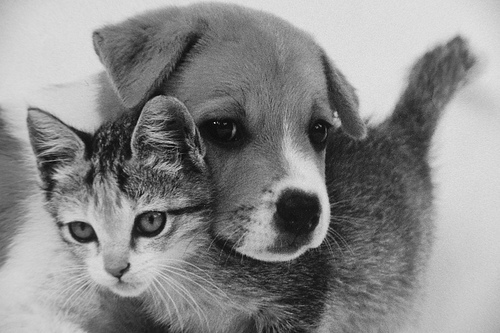 cute kitten and puppy unlikely friendship pic