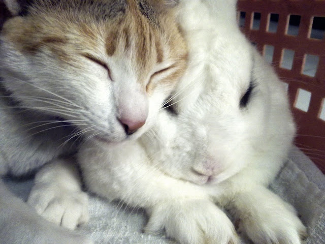 cute cat and bunny love pic
