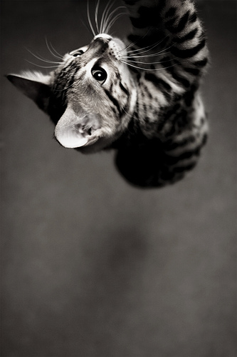 cute bengal playing jumping pic