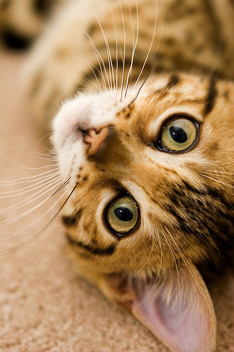 cute bengal cat pic