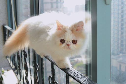 cute persian kitten walking on railing cat balance
