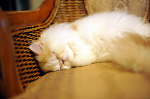 cute persian kitten napping, sleeping