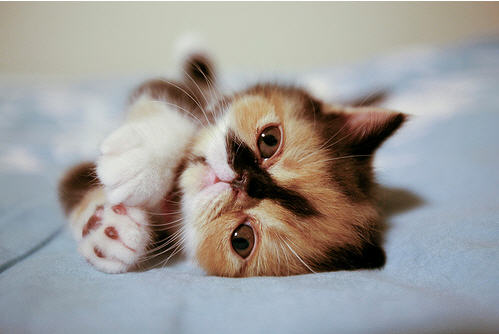 cute calico kitten cat pic