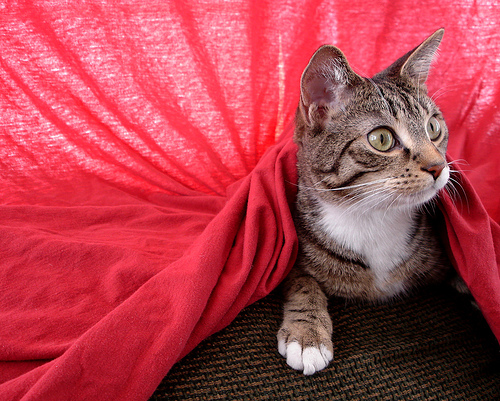cute cat playing under red sheet