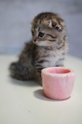 cute scottish fold and a cup