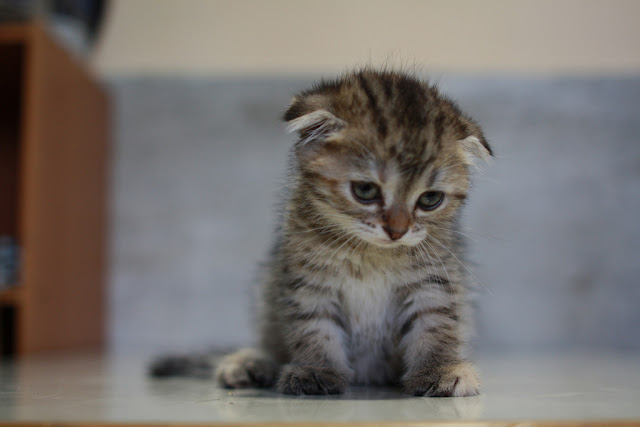 cute scottish fold kitten