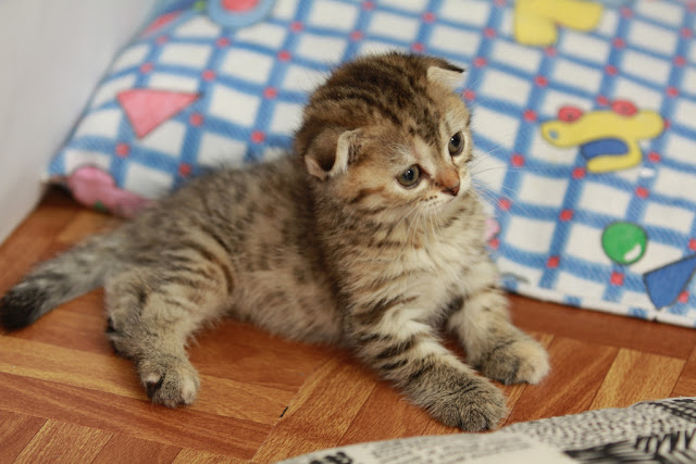cute scottish fold kitten in bed