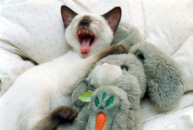 cute siamese kitten cuddling with bunny plush toy