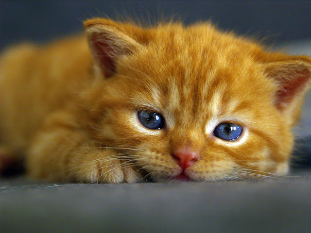 cute ginger kitten beautiful blue eyes