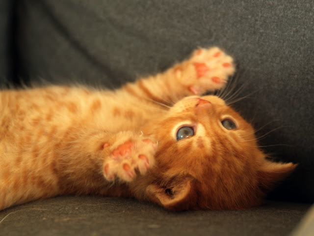 cute ginger kitten stretching his paws