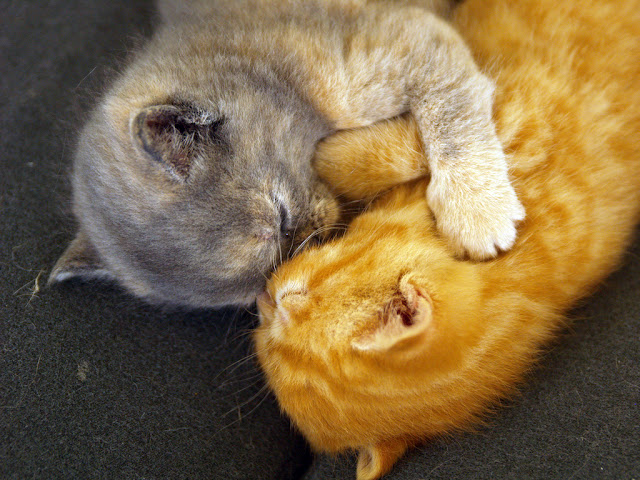 cute ginger kitten cuddling with gray kitten