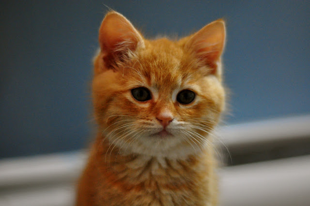 cute ginger rescued kitten cat pic
