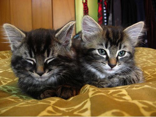 cute manx kittens